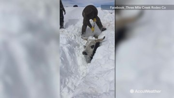 Cattle being dug out after major snowstorm