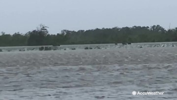 Wild hogs escape Barry's flooding on overtopped levee