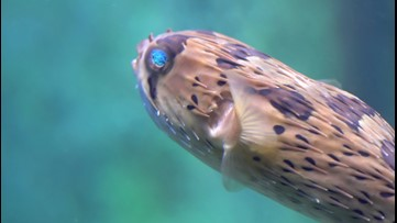 Scientists Make Painkiller From Puffer Fish Poison