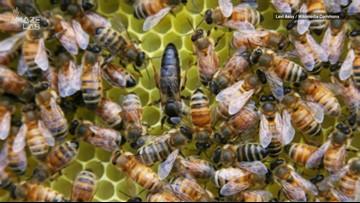 Honeybee Workers Revolt and Lay Eggs When Queen Bee is Away
