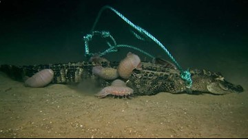 Scientists Drop Alligator Carcasses on Seafloor for Feeding Experiment