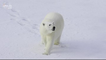 A Polar Bear Invasion Has Caused A State of Emergency In This Town