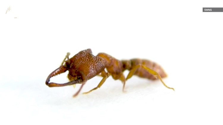 Is This Ant Really The 'Fastest' Animal On the Planet?
