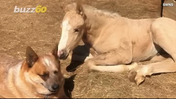Dog Daddy! Dog Takes Care Of Orphaned Infant Horse