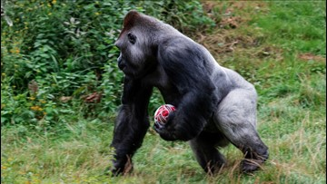 Ape-Plus Player! Pictures Show 400-Pound Gorilla Practicing with Rugby Ball