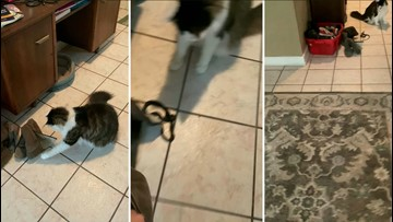 Snake Surprise! Funny Video Shows Owner Shocked When Finding Cat Playing With Snake!