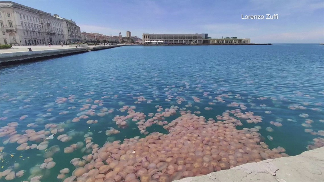 Jellyfish Jam! Swarms of Jellyfish Appear In an Italian ...