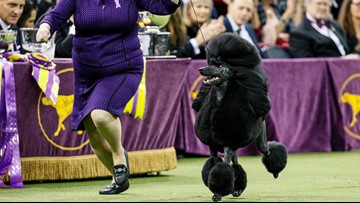 Siba the standard poodle wins best in show at Westminster Kennel Club