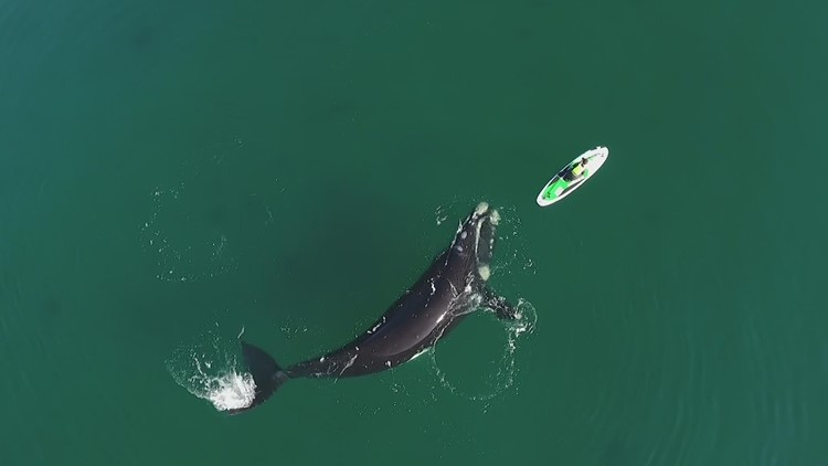 WATCH: Curious Southern Right whale pushes stand-up paddleboard