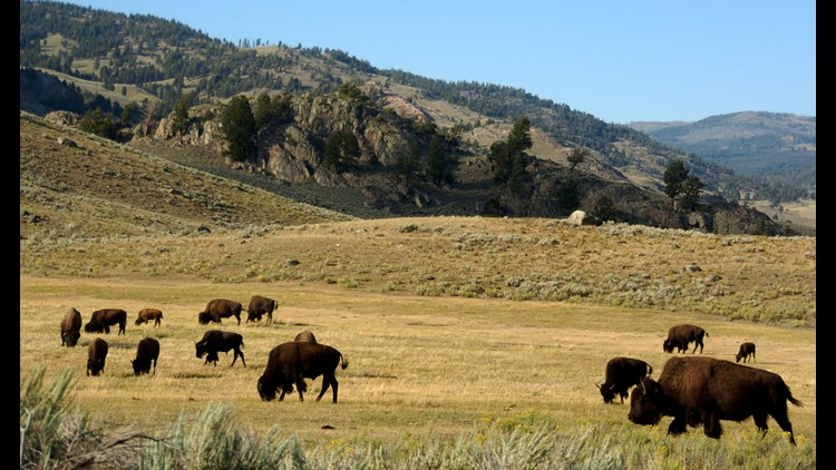 Risk assessment on Yellowstone bison could delay transfer
