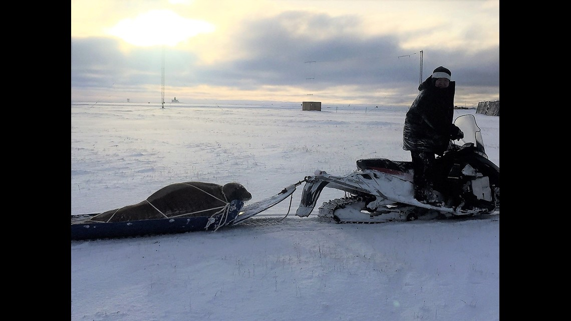 a1aae2d1 Animal control loaded the seal onto a sled and pulled it off the runway with  a snow machine.