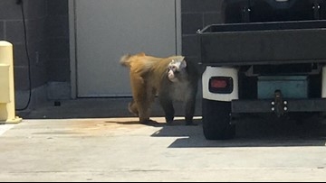 Escaped San Antonio airport monkey arrives at new home