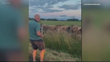 Watch: Saxophone practice draws rapt attention of Oregon cow herd