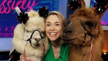 Beloved Portland therapy llama Rojo has died