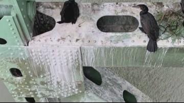 Poop from thousands of nesting birds damaging bridge from Washington to Oregon