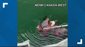 Video: Fishermen rescue eagle from octopus near Vancouver Island