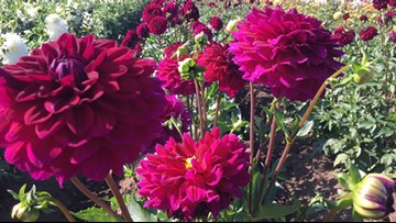 Dahlia lover's delight: Annual festival in Oregon next two weekends
