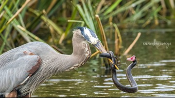 Photos: Great Blue Heron wrangles snake at state park in Texas