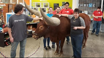 Texas man brings giant steer to Petco where 'all leashed pets are welcome'