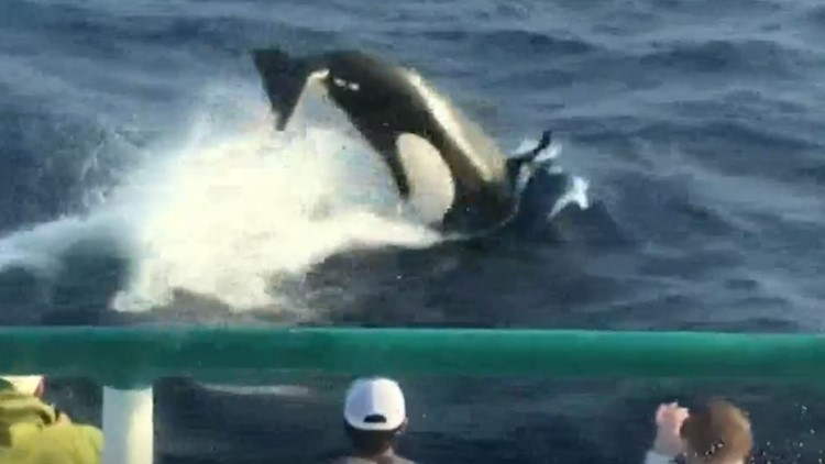 Fishing group spots large orca pod off Texas coast