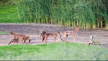 Wild canines found on Texas beaches have DNA of extinct red wolves