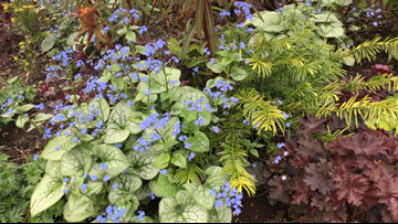 Ciscoe shows us how to add some color to our yards with Brunnera