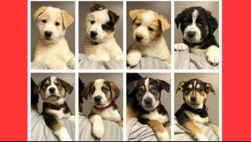 8 puppies from 'Reindeer Litter' available for adoption soon at Seattle Humane