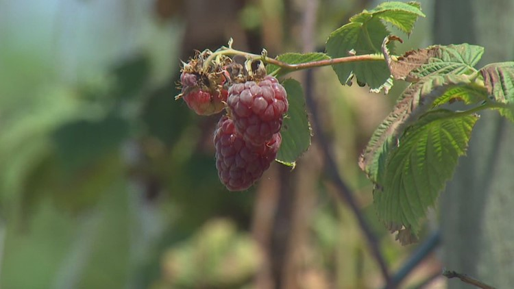 Heat wave damages some Whatcom County berry crops