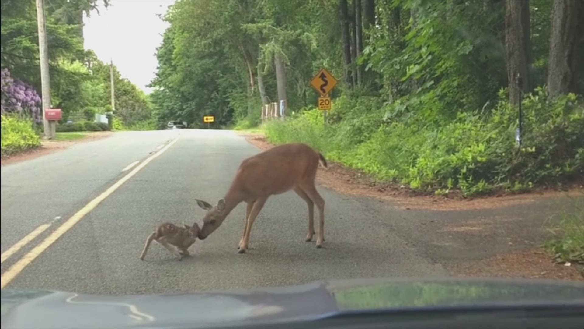 Scared Baby Deer Rescued By Mama On Port Orchard Road King5 Com