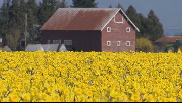 The La Conner Daffodil Festival is in full bloom