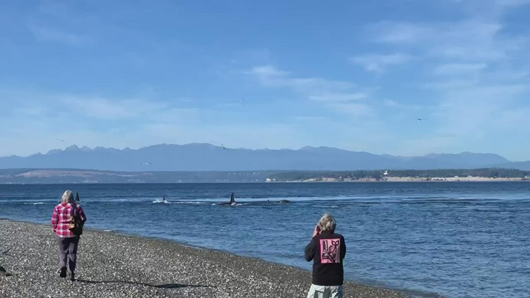 Southern Resident orcas spotted near Bush Point Lighthouse in Whidbey Island