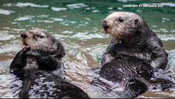 Rescued Southern sea otter to make debut at Point Defiance Zoo & Aquarium