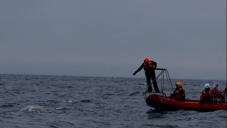 Response teams assess the condition of the whale. (Photo: NOAA)