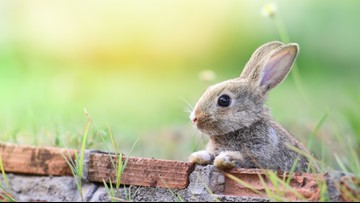 Ciscoe's tips to protect your yard from rabbits
