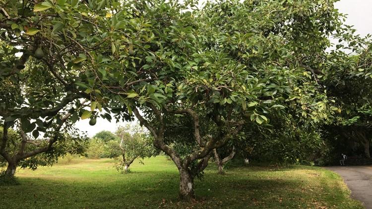 Hawaiian-grown avocados