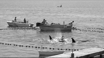 Orca Lolita was captured in hunt off Whidbey Island 49 years ago