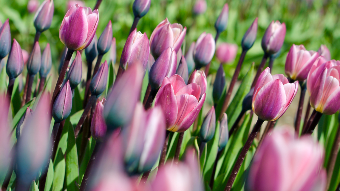How to plan for the Tulip Festival as it triumphantly returns to Skagit Valley