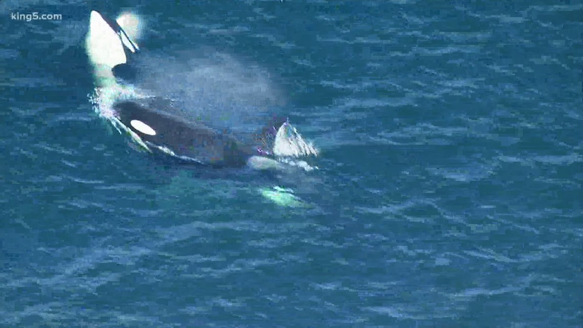 J35 orca believed to have given birth