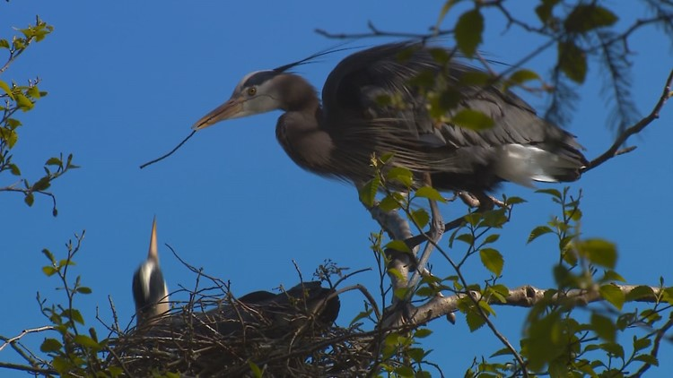 Meet Magnolia's most eccentric resident: The Great Blue Heron