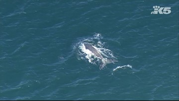Whale spotted in Puget Sound