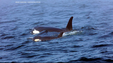 The Puget Sound orca population is declining, here's how you can help - New Day Northwest