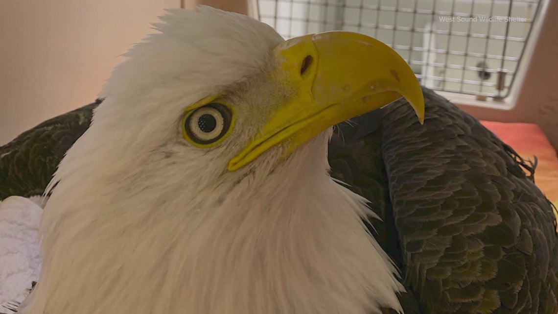 Several Washington bald eagles injured as species stages US comeback