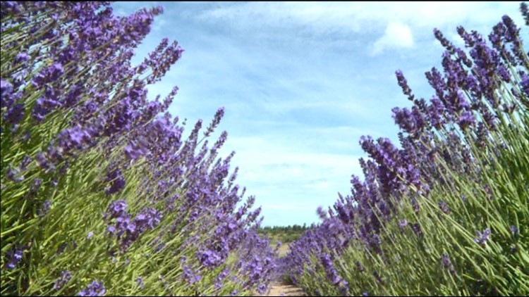 Lavender is blooming at these three Sequim farms