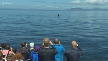 Whale watchers worry about orca law