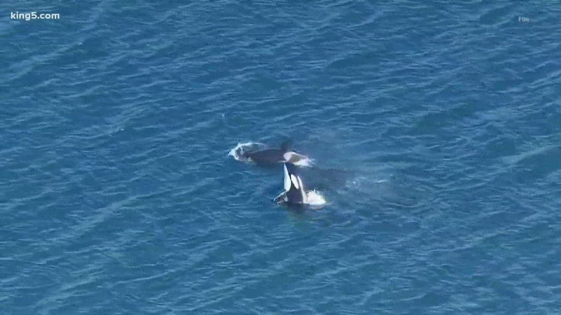 As orcas return to Puget Sound for the fall, experts warn boaters to stay away