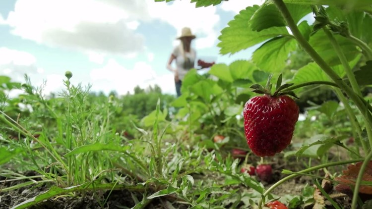 Pick your own organic strawberries at this Snohomish County farm