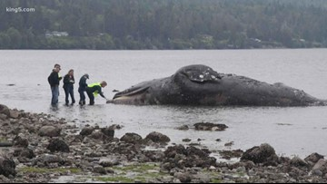 Wildlife officials in Washington seeking land for whale decomposition