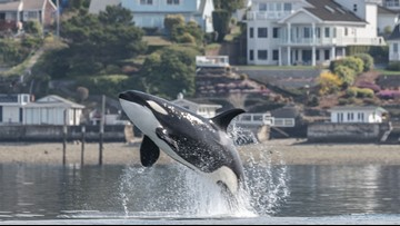 Gov. Inslee signs range of bills aimed at helping orcas