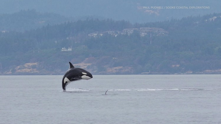 3 pregnant orcas among dwindling Southern Resident whale pod in Puget Sound