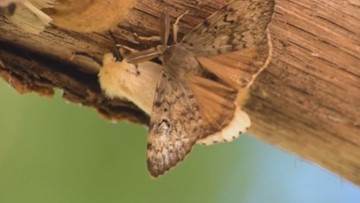 State plans to spray for gypsy moths near Edmonds and Everett